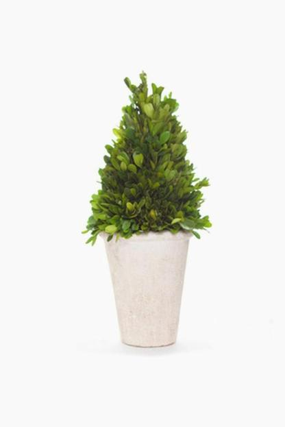 boxwood cone topiary tree